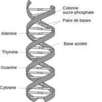 800px-DNA_structure_and_bases_FR.svg.png