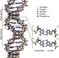 ADN B (Double hélice)